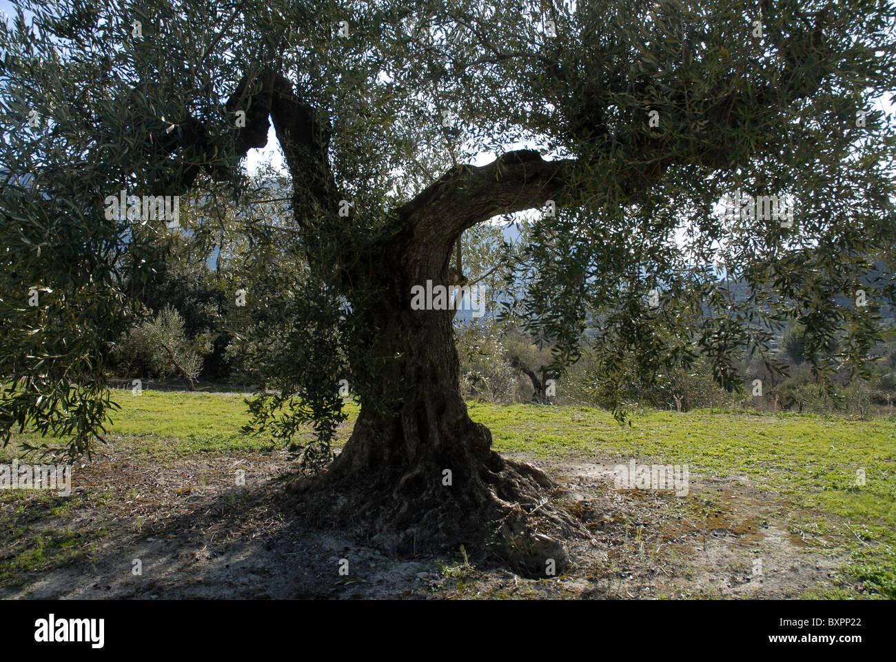 Vecchio olivo (Olea europeae) nr Balones, Vall de Seta, Provincia di Alicante, Comunidad Valenciana, Spagna Immagini Stock