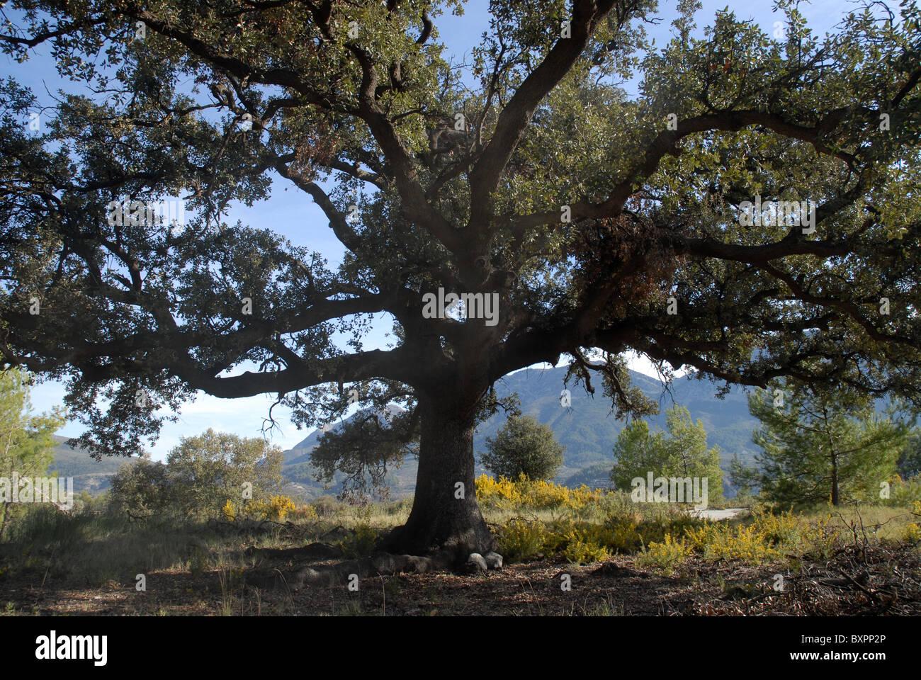 Quercus ilex il leccio o Holly Oak, nr Balones, Vall de Seta, Provincia di Alicante, Comunidad Valenciana, Spagna Immagini Stock