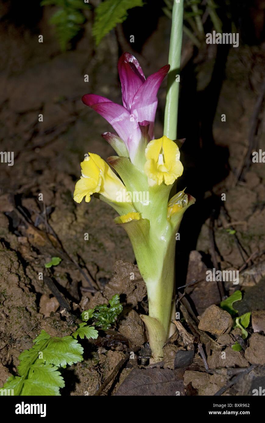 Ran- halad, nome scientifico: Curcuma pseudomontana Immagini Stock
