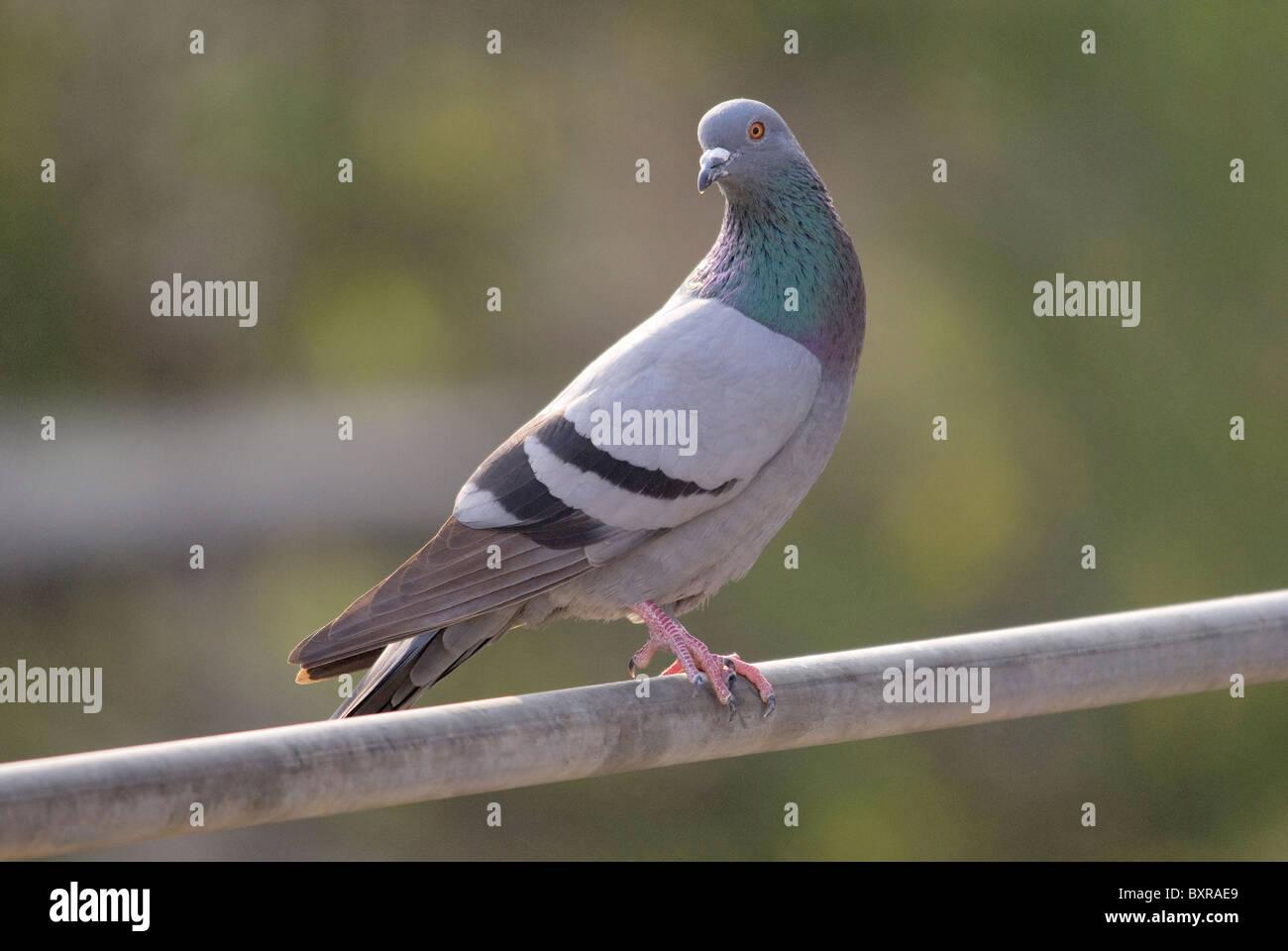 Il piccione di roccia, il nome scientifico della specie: Columba livia Immagini Stock