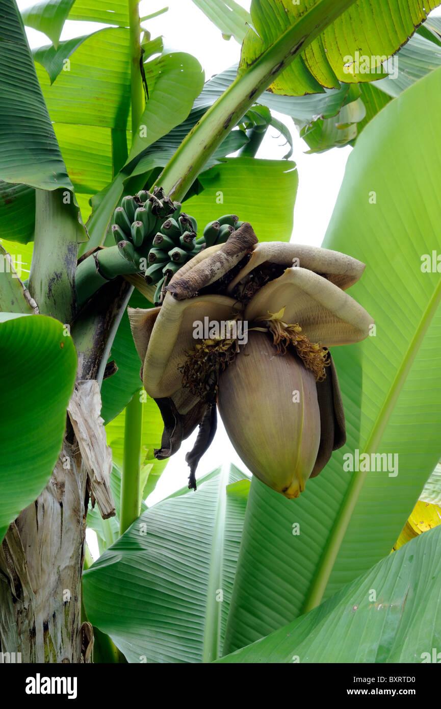 Pianta Di Banana Foto piante di banana con banana frutto foto & immagine stock