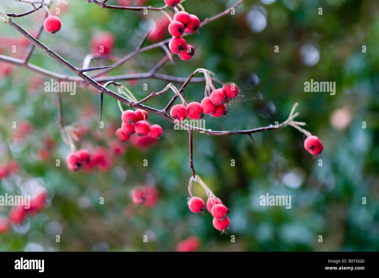 Rosso intensi di frutti di bosco invernale contro uno sfondo morbido Immagini Stock