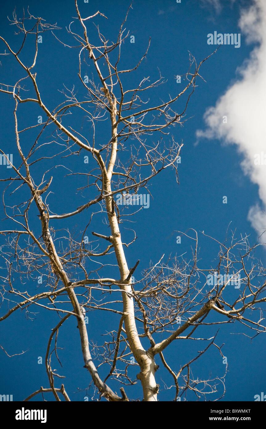 Bare Aspen rami di alberi Immagini Stock