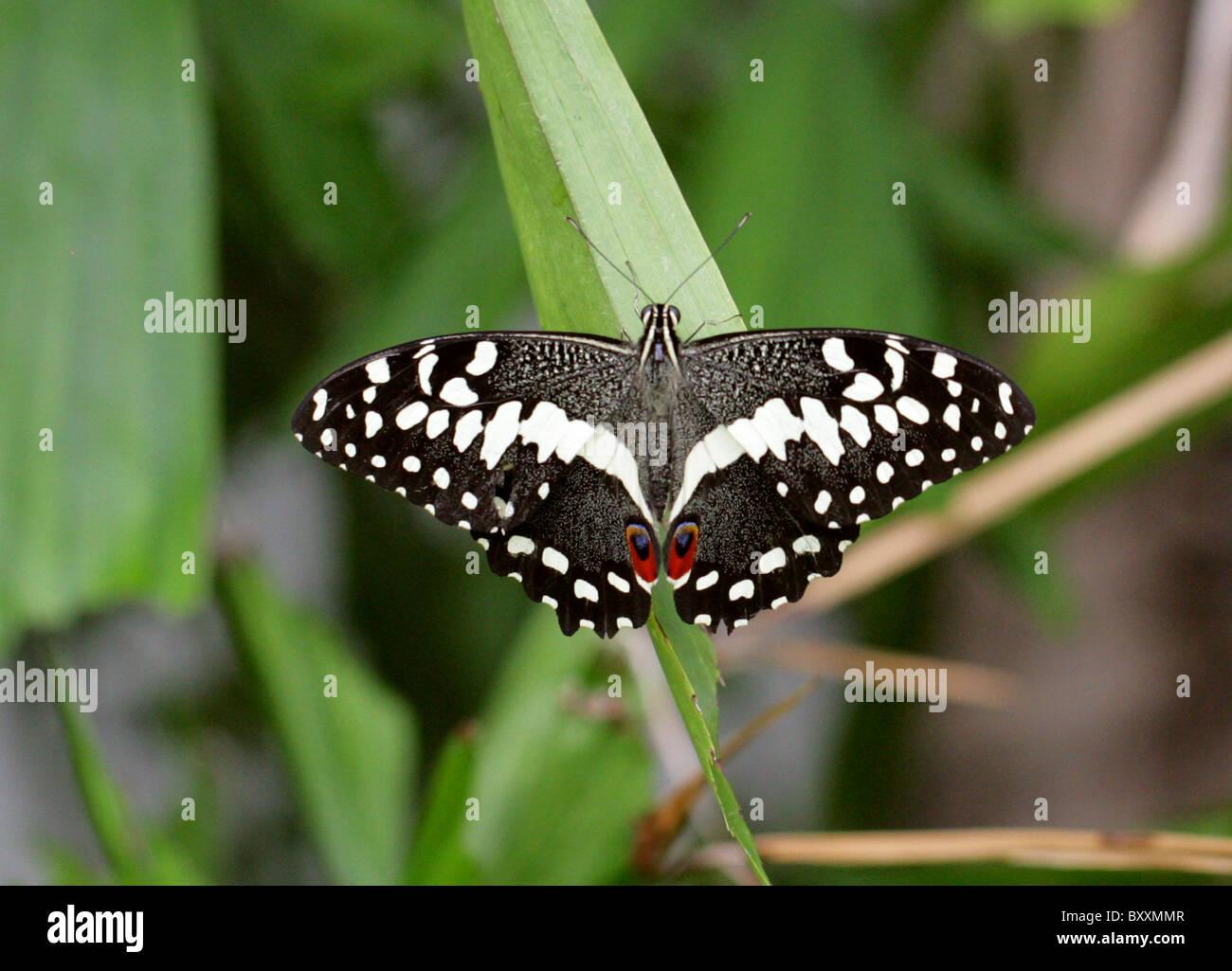 Gli agrumi a coda di rondine, Butterfly Papilio demoleus, Papilionidae, Sud Est Asia Australia Immagini Stock