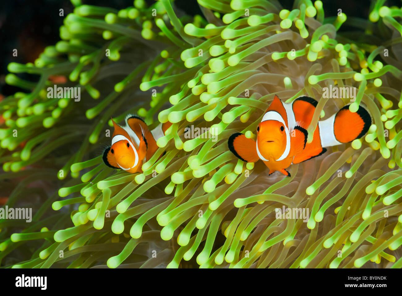 Clown Anemonefish, Amphiprion percula, Alam Batu, Bali, Indonesia Immagini Stock