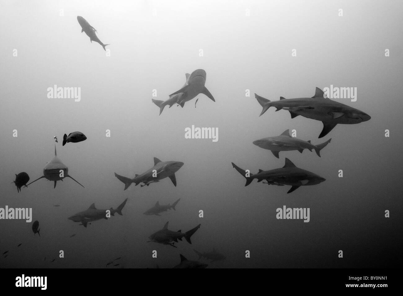 Squalo toro, Carcharhinus leucas, Beqa Lagoon, Viti Levu, Isole Figi Immagini Stock