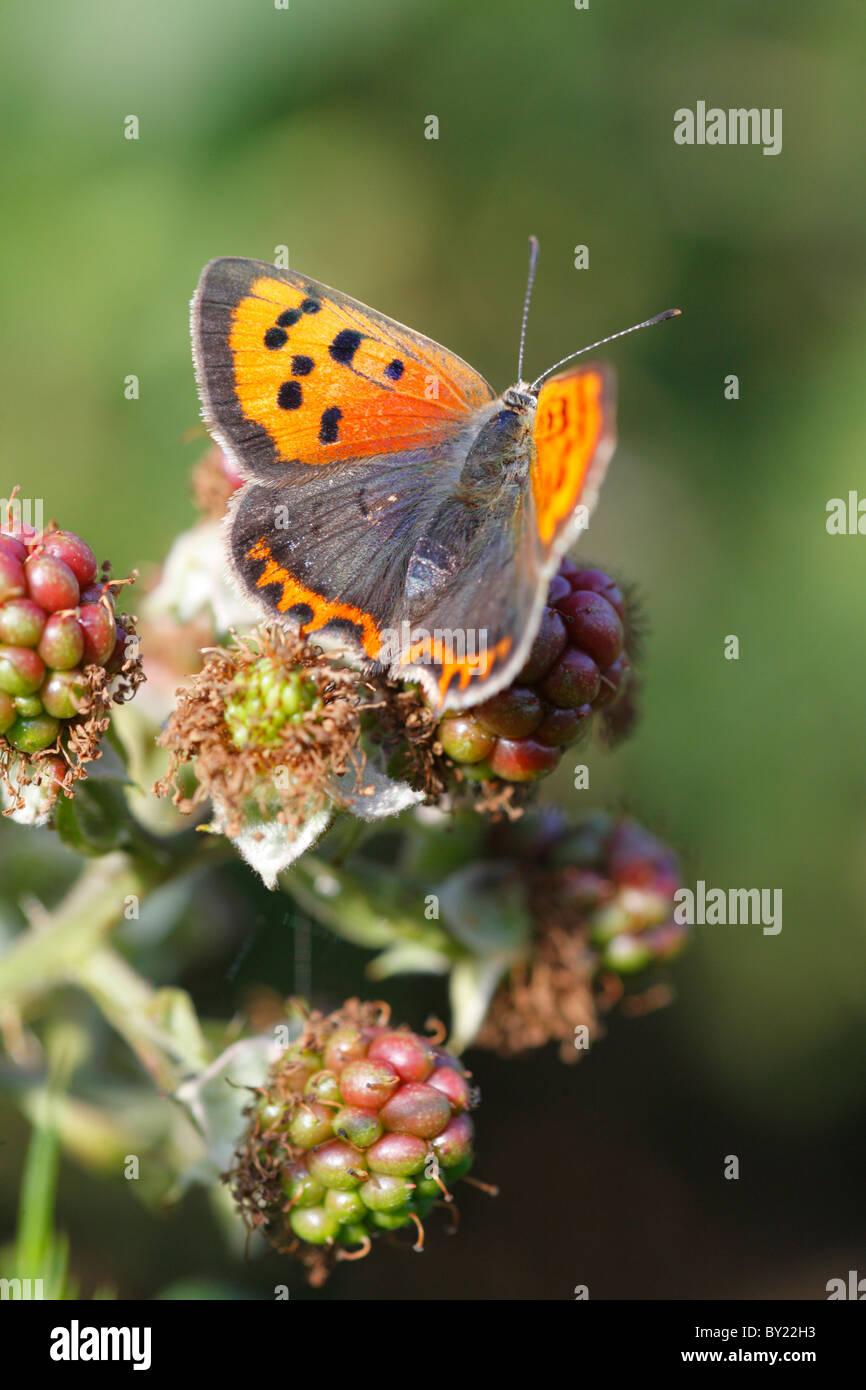 Piccola di rame (farfalla Lycaena phlaeas) crogiolarsi sulle nazioni unite-blkackberries mature. Powys, Galles. Immagini Stock