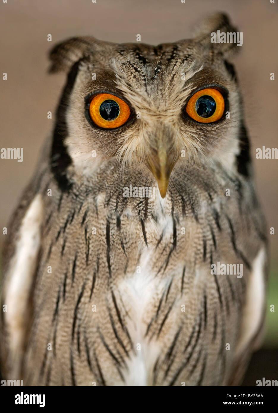 Una di fronte bianco-Scops-Owl, una specie di piccolo gufo con ciuffi auricolari che vengono sollevati quando l'uccello Immagini Stock