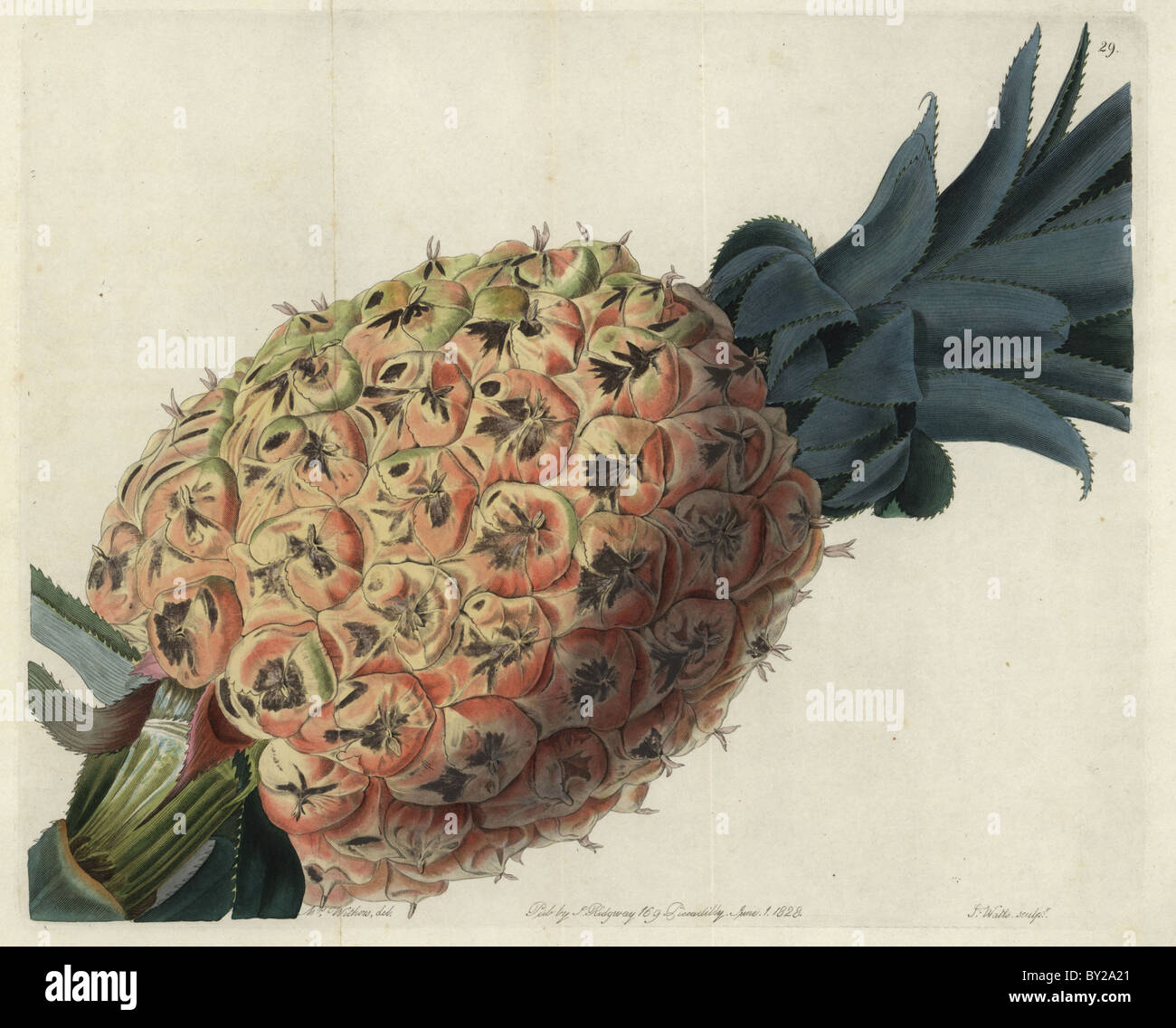 Otaheite o tahitian ananas, anson di pino, bromelia Ananas comosus. Immagini Stock