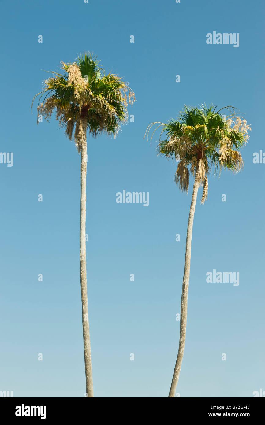 Due alberi di palma contro un cielo blu chiaro Immagini Stock