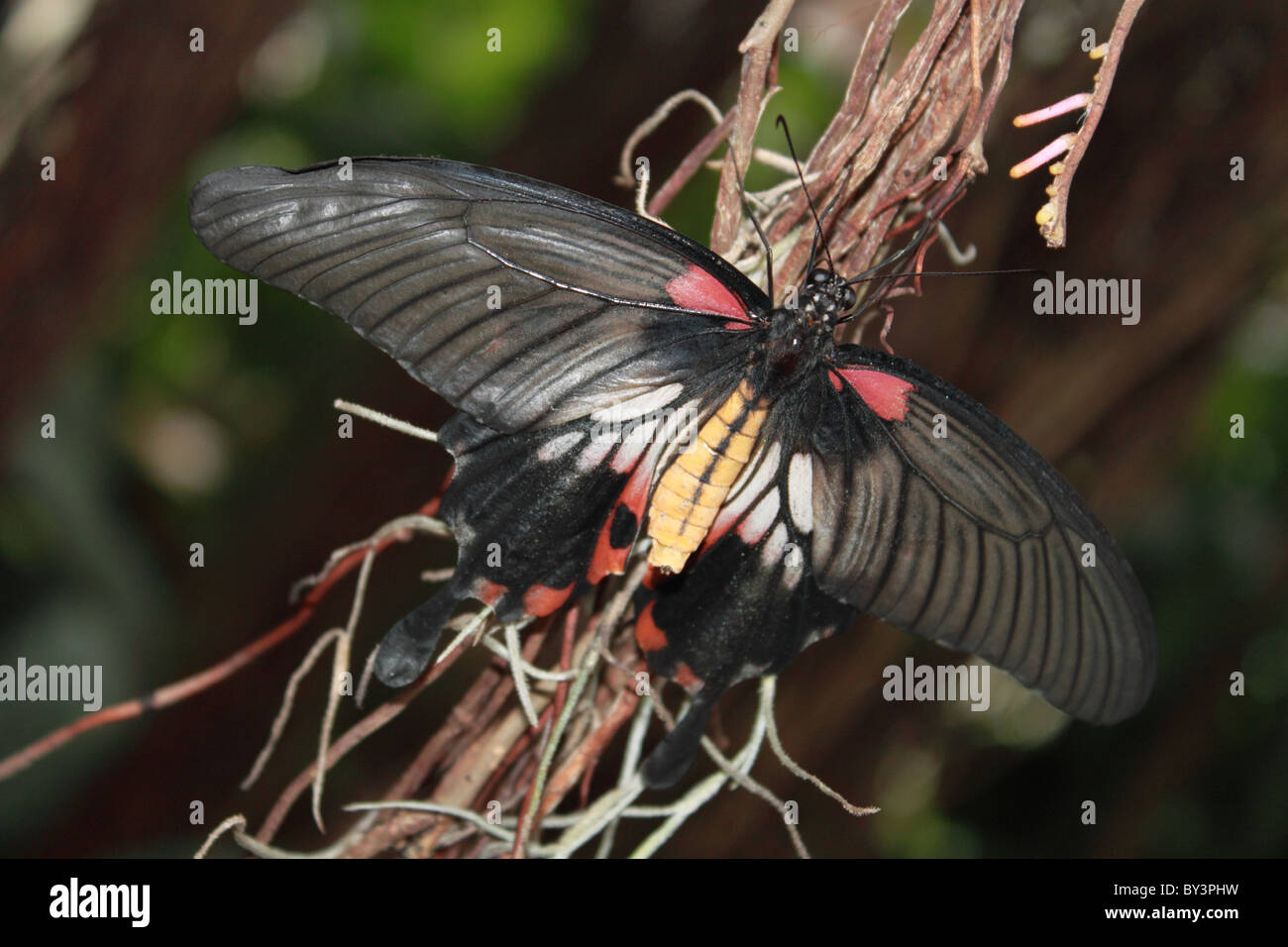 Femmina a coda di rondine asiatici (Papilio lowi). Farfalle in The Glasshouse 2011, giardino RHS Wisley, Woking, Immagini Stock