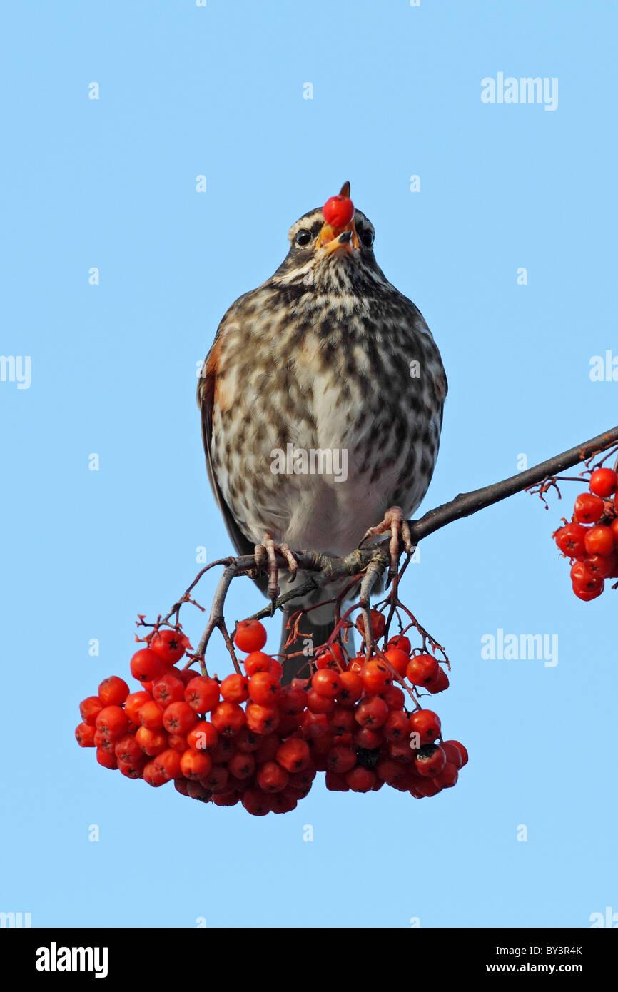 Redwing Turdus iliacus Rowan tree berry bacche rosso mangiare Foto Stock