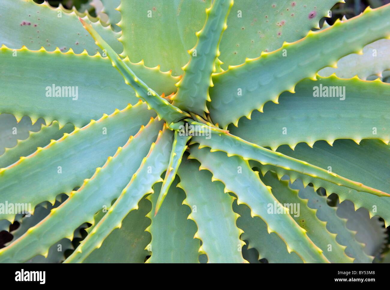Agave pianta. Isola di El Hierro, Isole Canarie, Spagna. Flora e fauna. Perenne monocotiledone. Agavoideae. Piante Immagini Stock