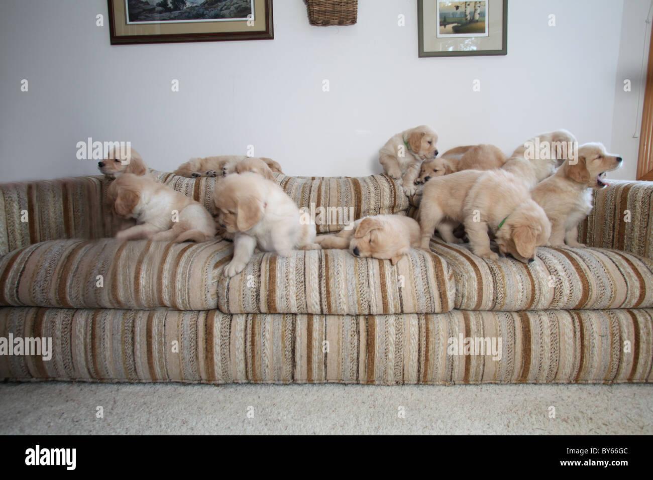 Grande gruppo di golden retriever cuccioli giocando sul divano Immagini Stock