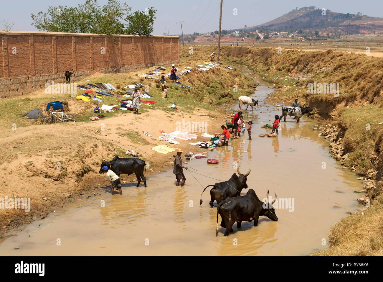 Zebù (buoi) bere e persone che fanno il lavaggio in un fiume nella periferia di Antananarivo, la capitale del Immagini Stock
