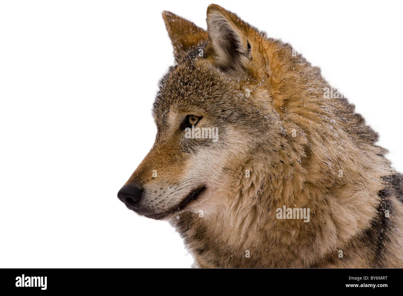 Illustrazione di lupo immagini & illustrazione di lupo fotos stock