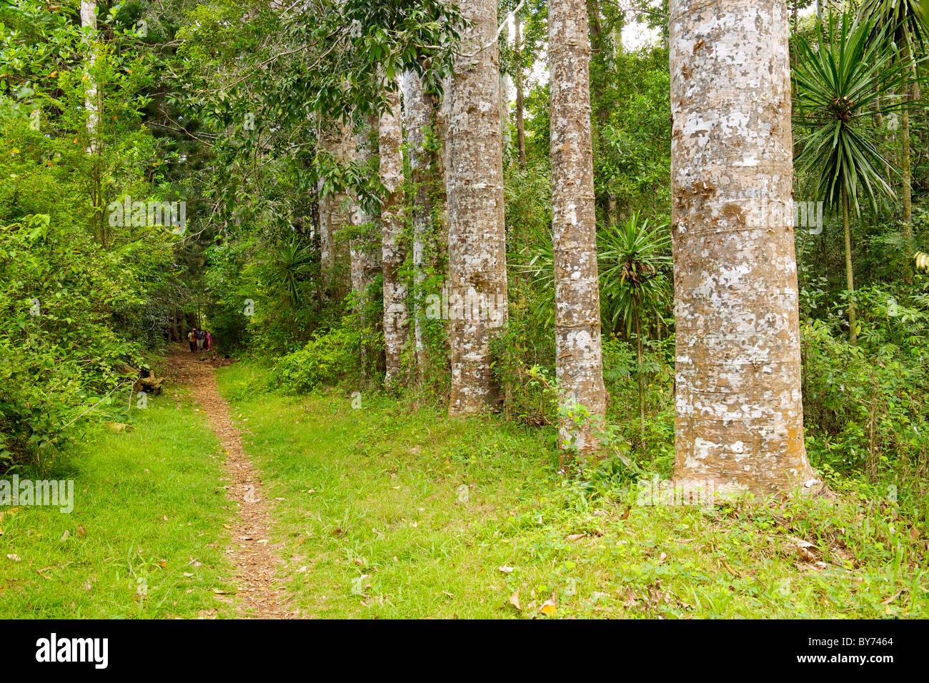 Sentiero forestale in Montagne d'Ambre parco nazionale nel nord del Madagascar. Immagini Stock