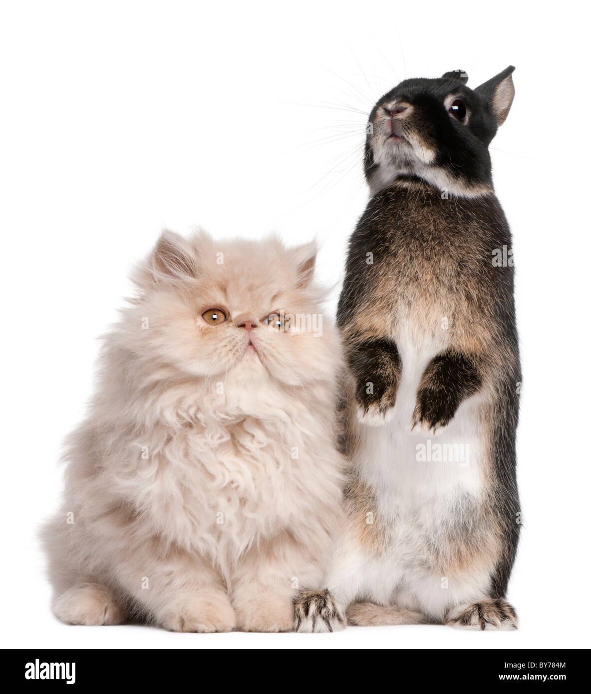 Giovani gatto persiano e il coniglio di fronte a uno sfondo bianco Immagini Stock