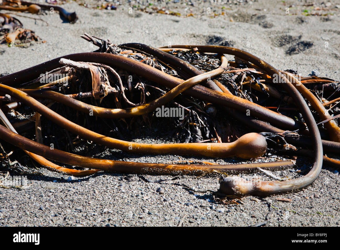 Una massa di twisted Bull Kelp su una spiaggia. San Juan Island, Washington, Stati Uniti d'America. Immagini Stock