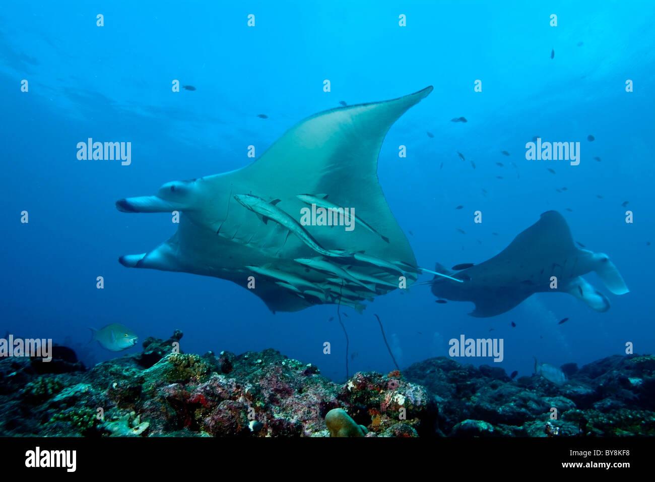 Manta ray - manta birostris - nuoto intorno al punto di Manta, North Male Atoll, Maldive. Foto Stock
