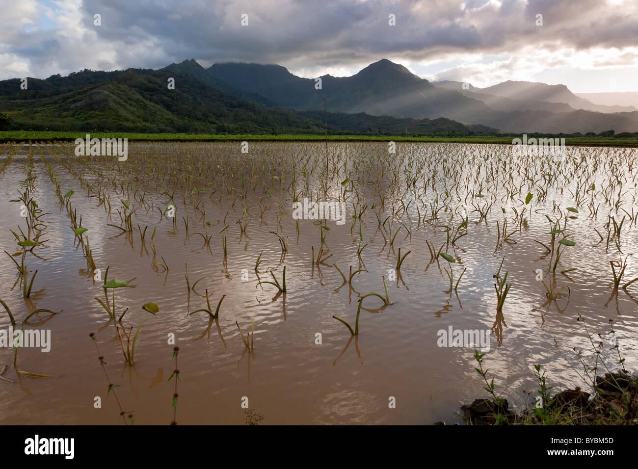 Fangoso campo inondato di cavoli di Taro nei pressi di Hanalei. Un campo inondato di cavoli di taro in Hanalei River Immagini Stock