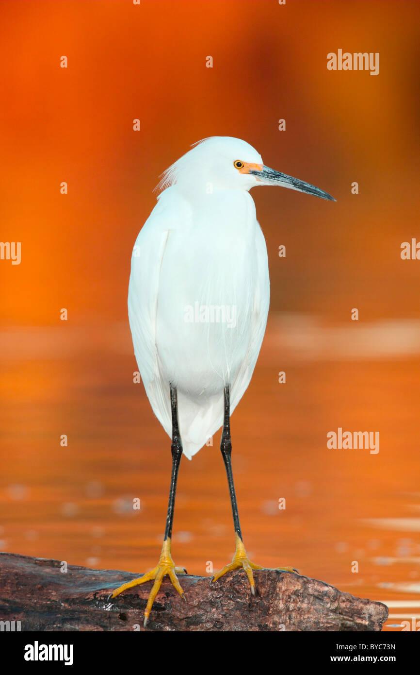Snowy Egret Immagini Stock