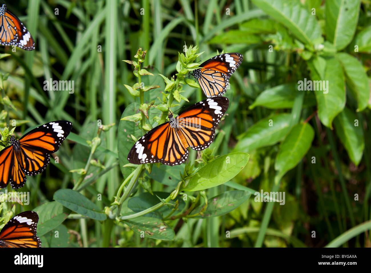 Farfalla monarca (danaus plexippus) seduto su una boccola di Phi Phi, Thailandia Immagini Stock