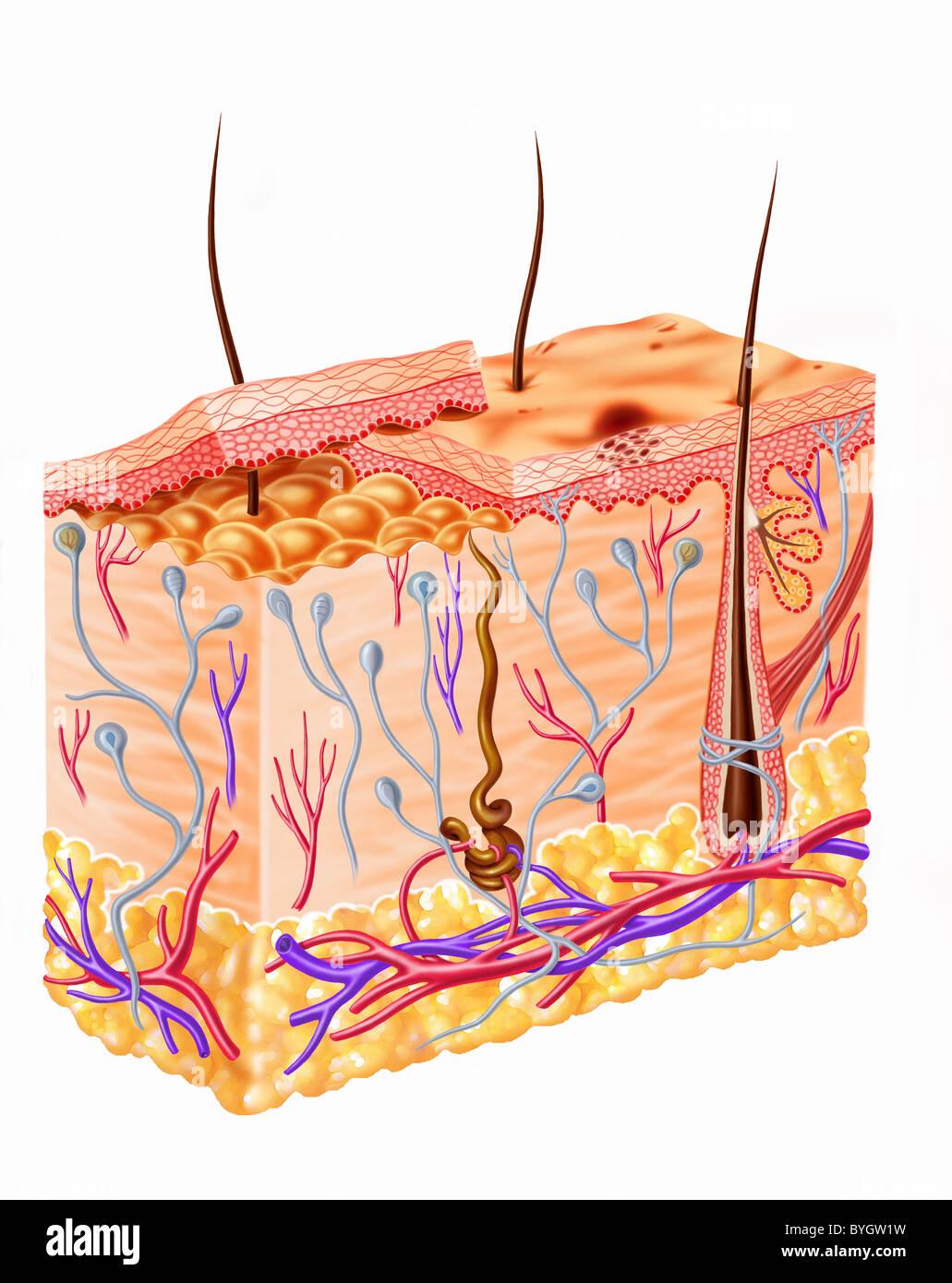 La pelle umana schema sezione Immagini Stock