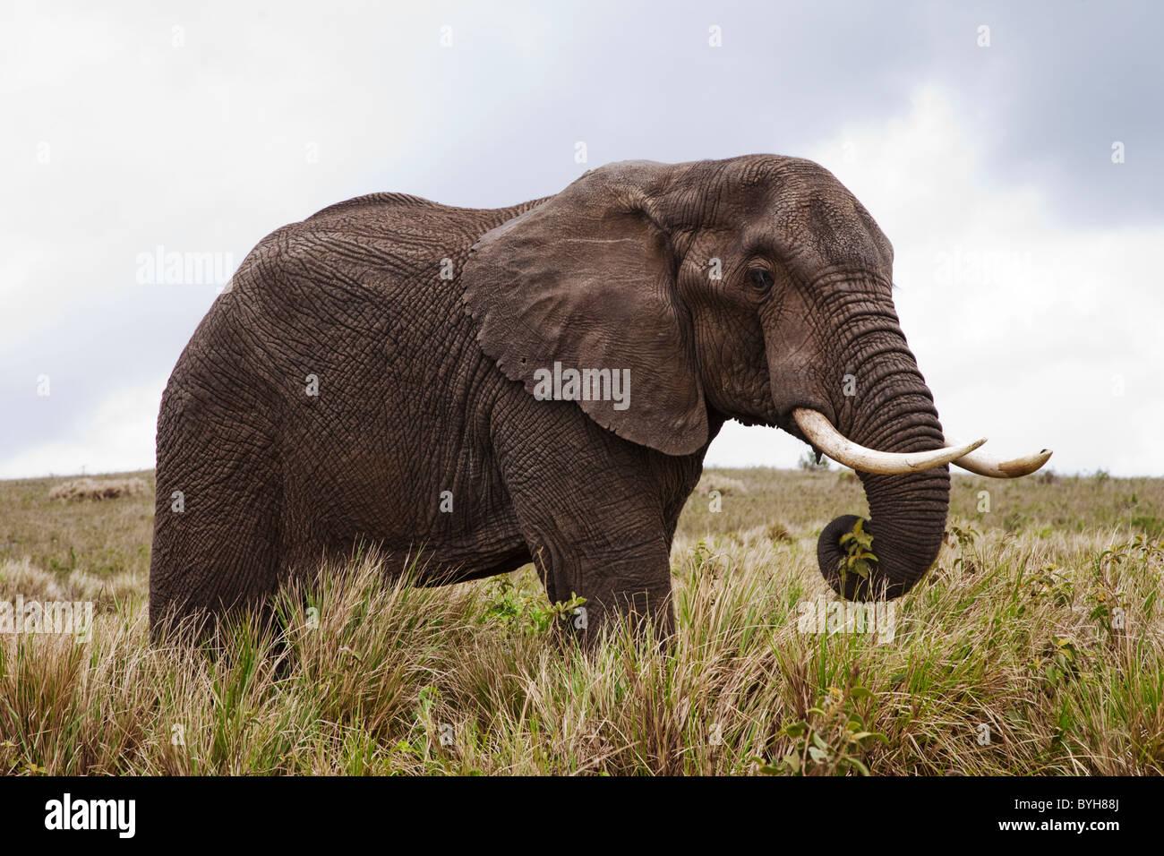 Elefante nel Parco Nazionale del Serengeti, Tanzania Africa Immagini Stock