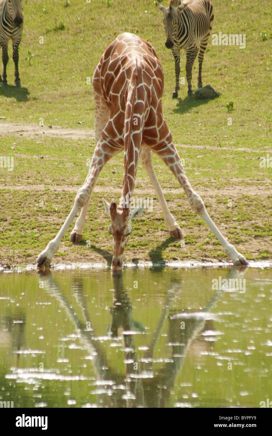 """""""Tutti hanno sfide"""" - per una giraffa, acqua potabile è una sfida Immagini Stock"""