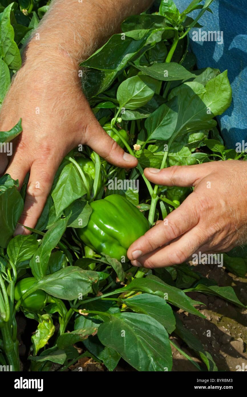Un agricoltore tira il fogliame torna a mostrare il suo maturo di peperoni verdi sulla boccola, pronto per il raccolto Immagini Stock