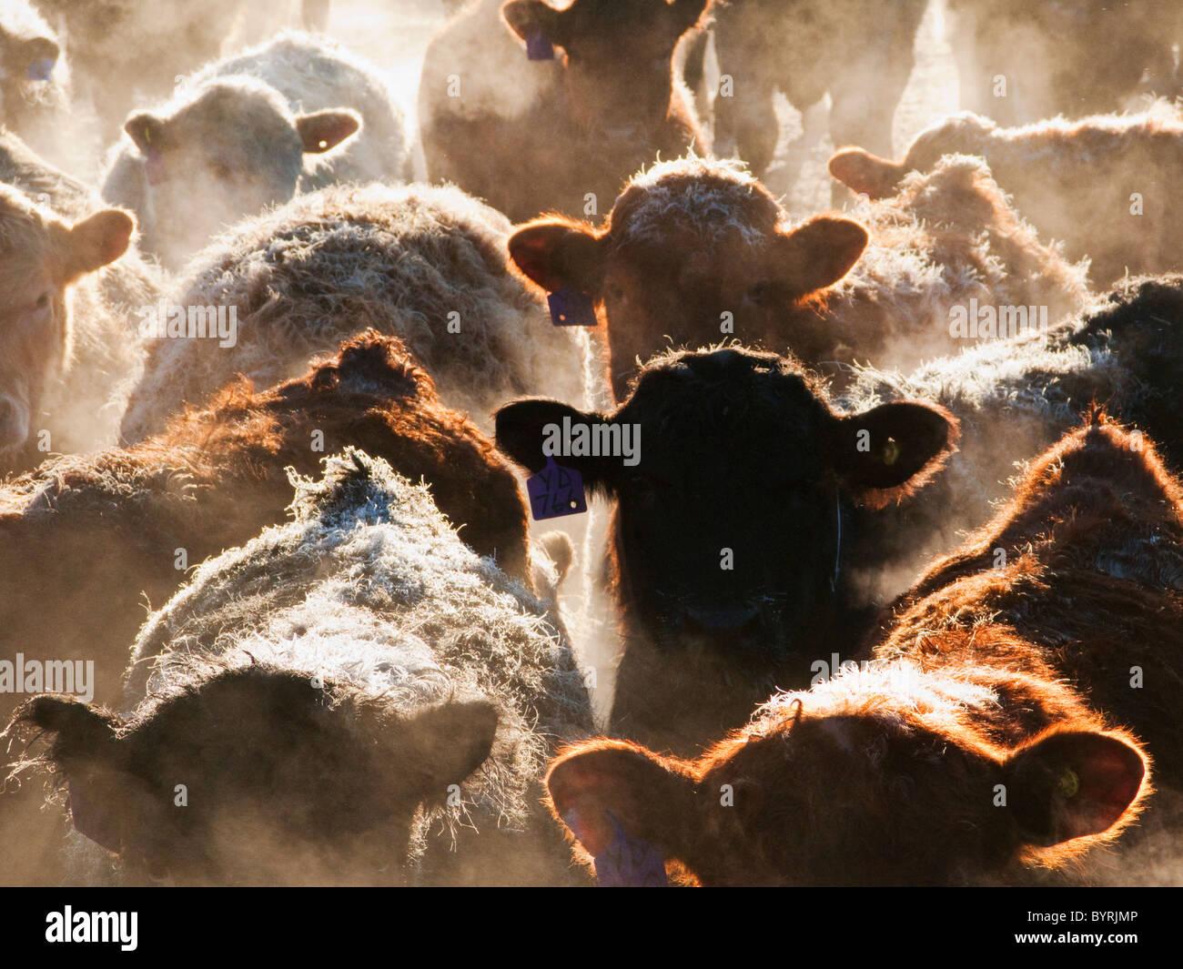 Bestiame - incroci e Mixed razze di bovini da carne in un feedlot penna su un gelido inverno mattina all'alba Immagini Stock