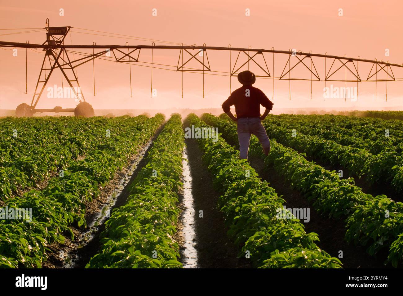 Un agricoltore sta nella sua metà della crescita campo di patate osservando un perno centrale di un sistema Immagini Stock