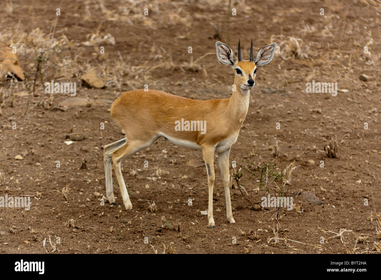 Cefalofo comune, wild timida antelope Immagini Stock