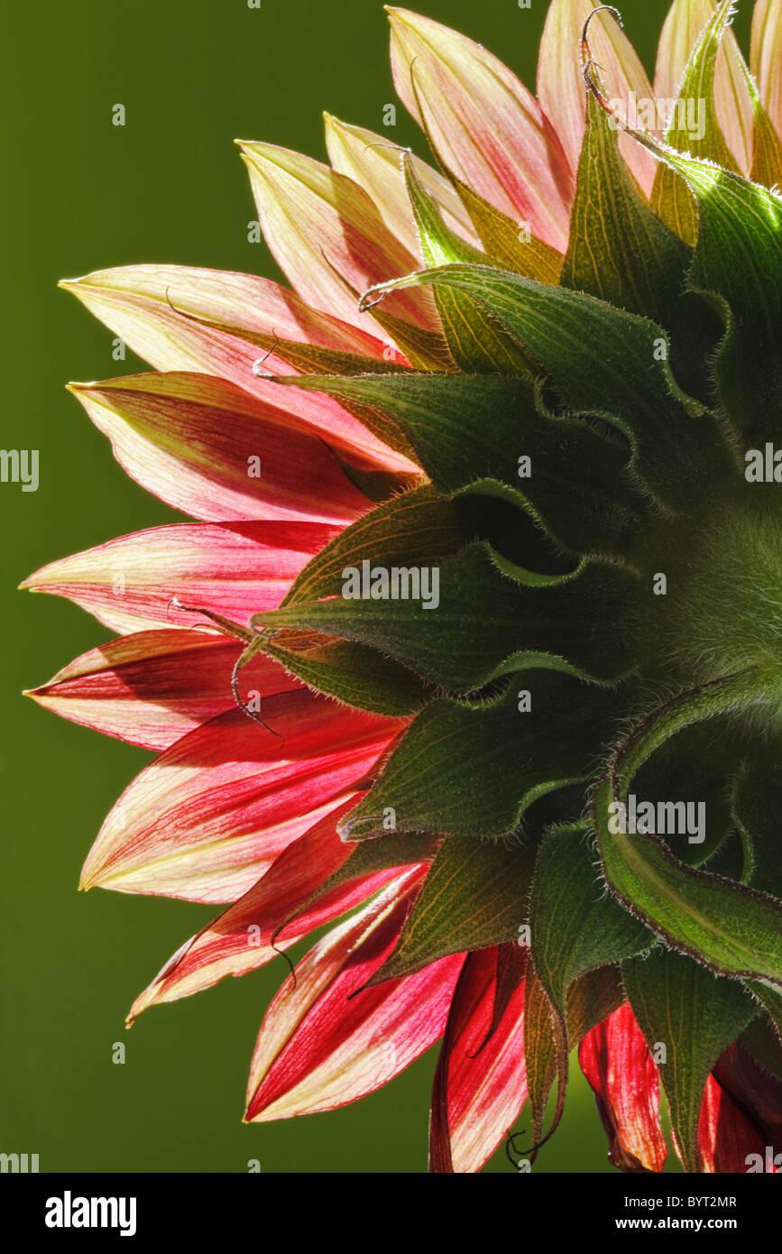 Girasole rosso vista posteriore close up Immagini Stock