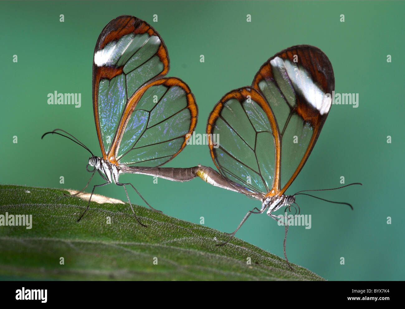 Greta Oto Clearwing Glasswing Butterfly America Centrale Immagini Stock