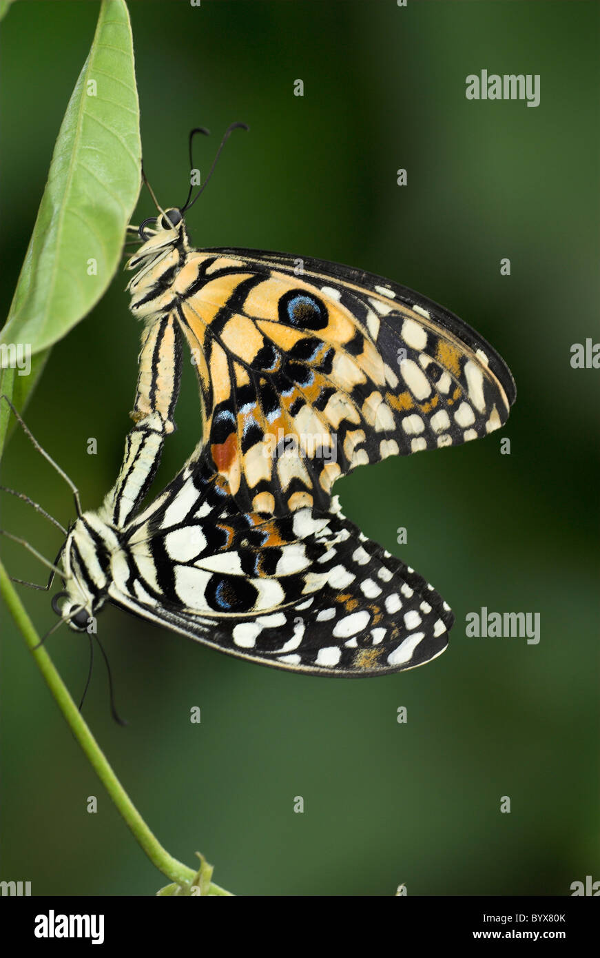 Lime a coda di rondine farfalle Papilio demoleus Asia Immagini Stock