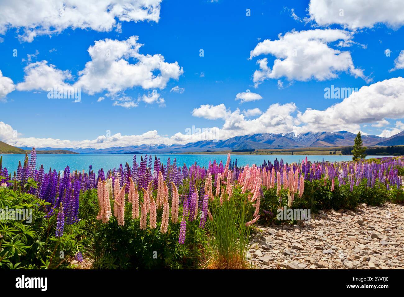 Lupin fiori di campo sulla riva del Lago Tekapo in Nuova Zelanda Immagini Stock