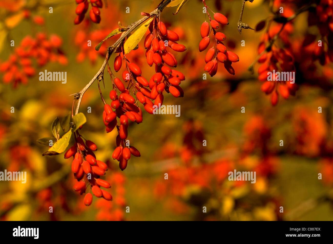 Sauerdorn, gewoehnliche Berberitze, Berberis vulgaris, Crespino, ittero berry, Ostalbkreis, Deutschland, Germania Immagini Stock
