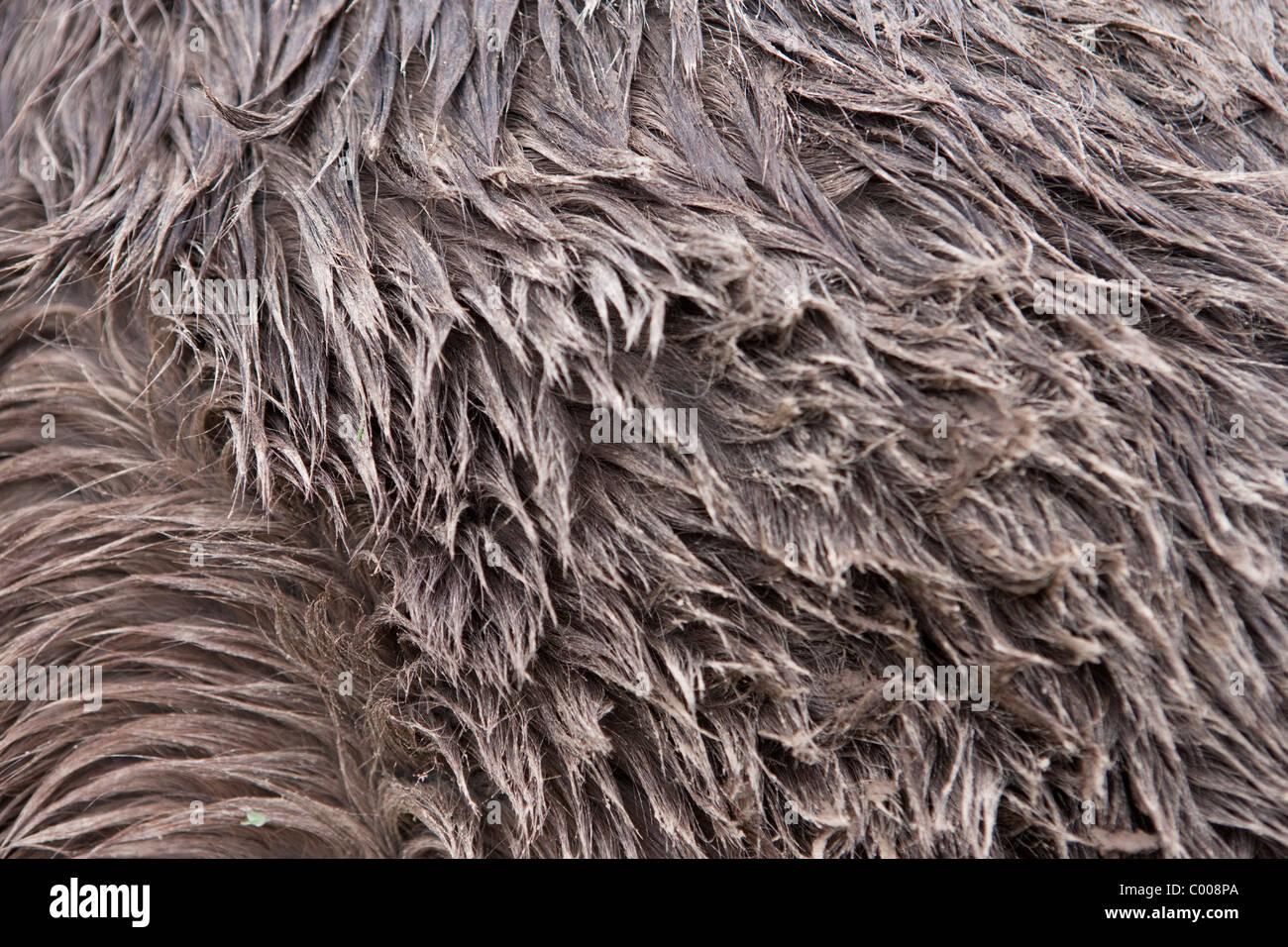Prato di sabbia allevamenti di cavalli islandesi Immagini Stock