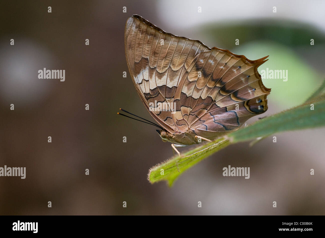 Tropischer Schmetterling, farfalle tropicali, Tanjung messa Nationalpark, Indonesien, Indonesia Immagini Stock
