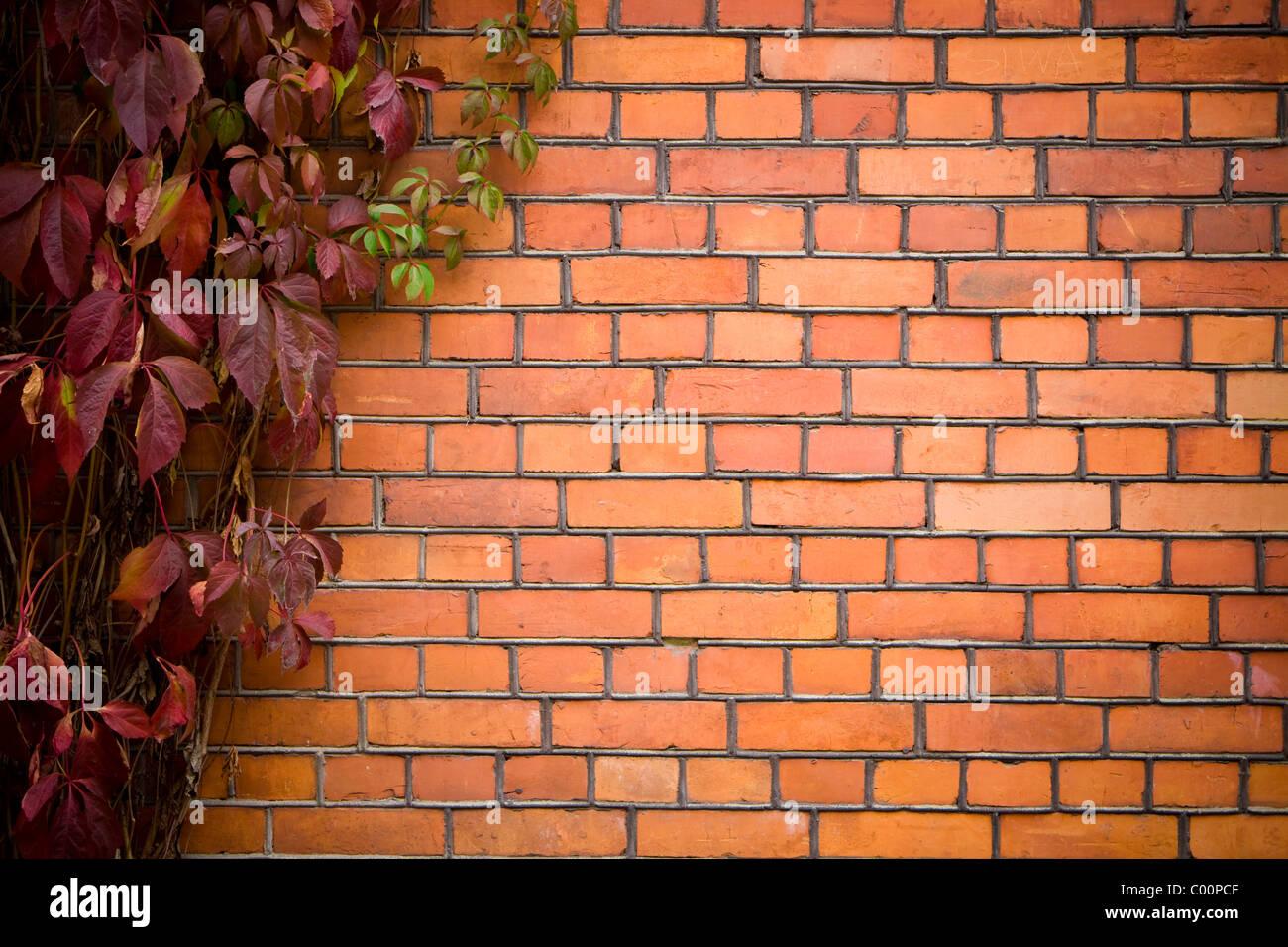 Parete con vite. muro di mattoni coperto di edera. Immagini Stock
