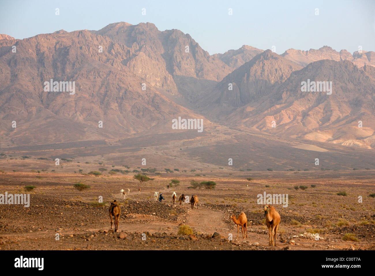 Cammelli nel Wadi Araba, Giordania. Immagini Stock