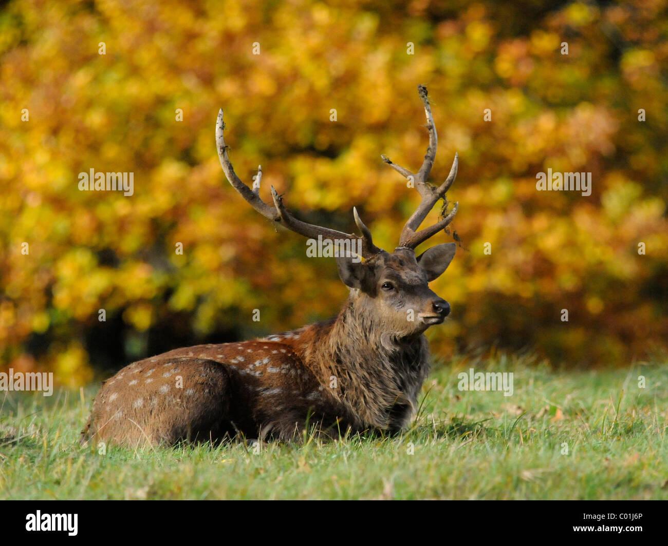 Un giovane cervo seduto da fogliame di autunno in campagna. Immagini Stock
