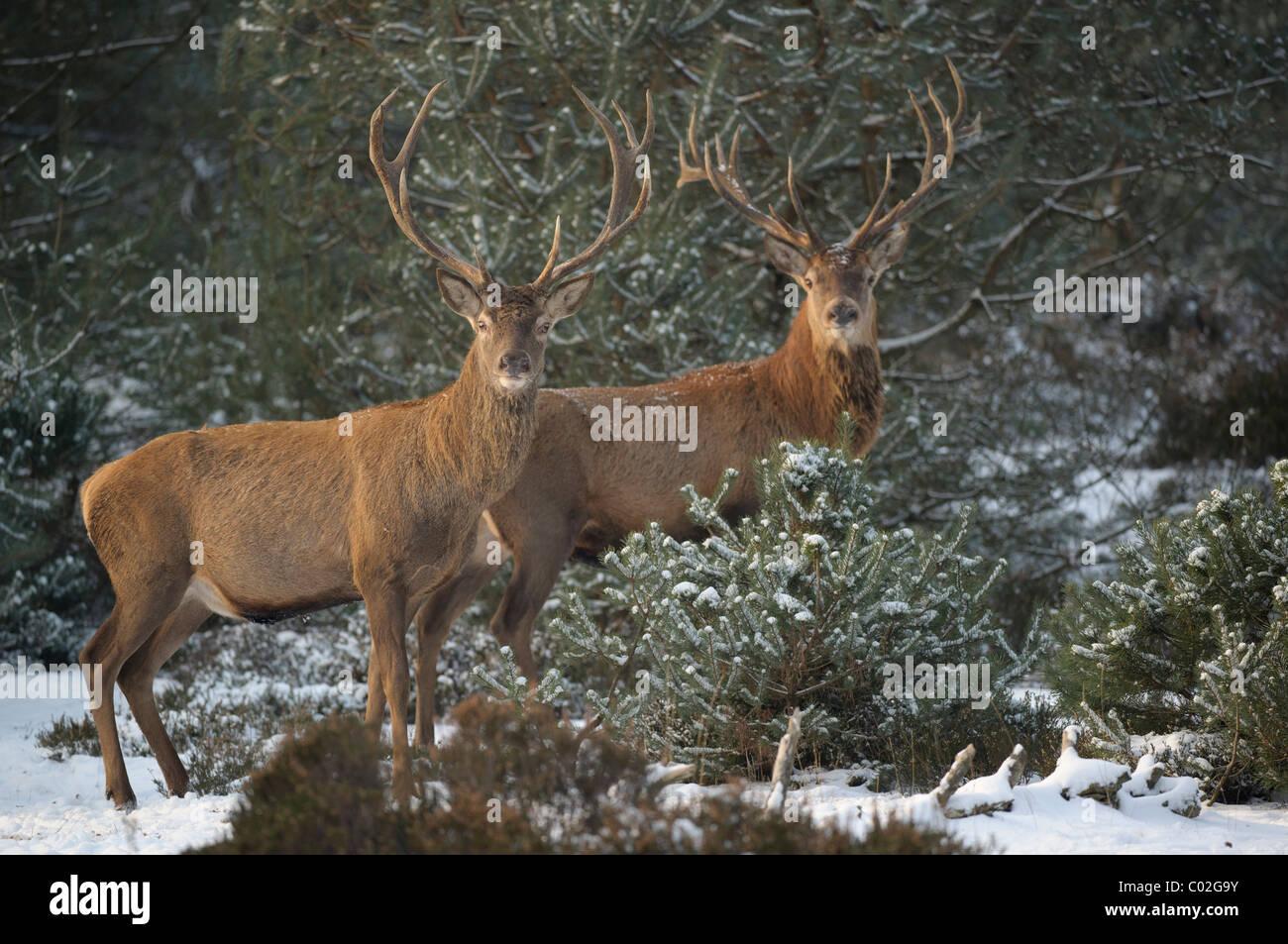 Il cervo (Cervus elaphus). Due cervi in piedi nella neve pineta mentre guardando nella telecamera, Veluwe, Paesi Immagini Stock