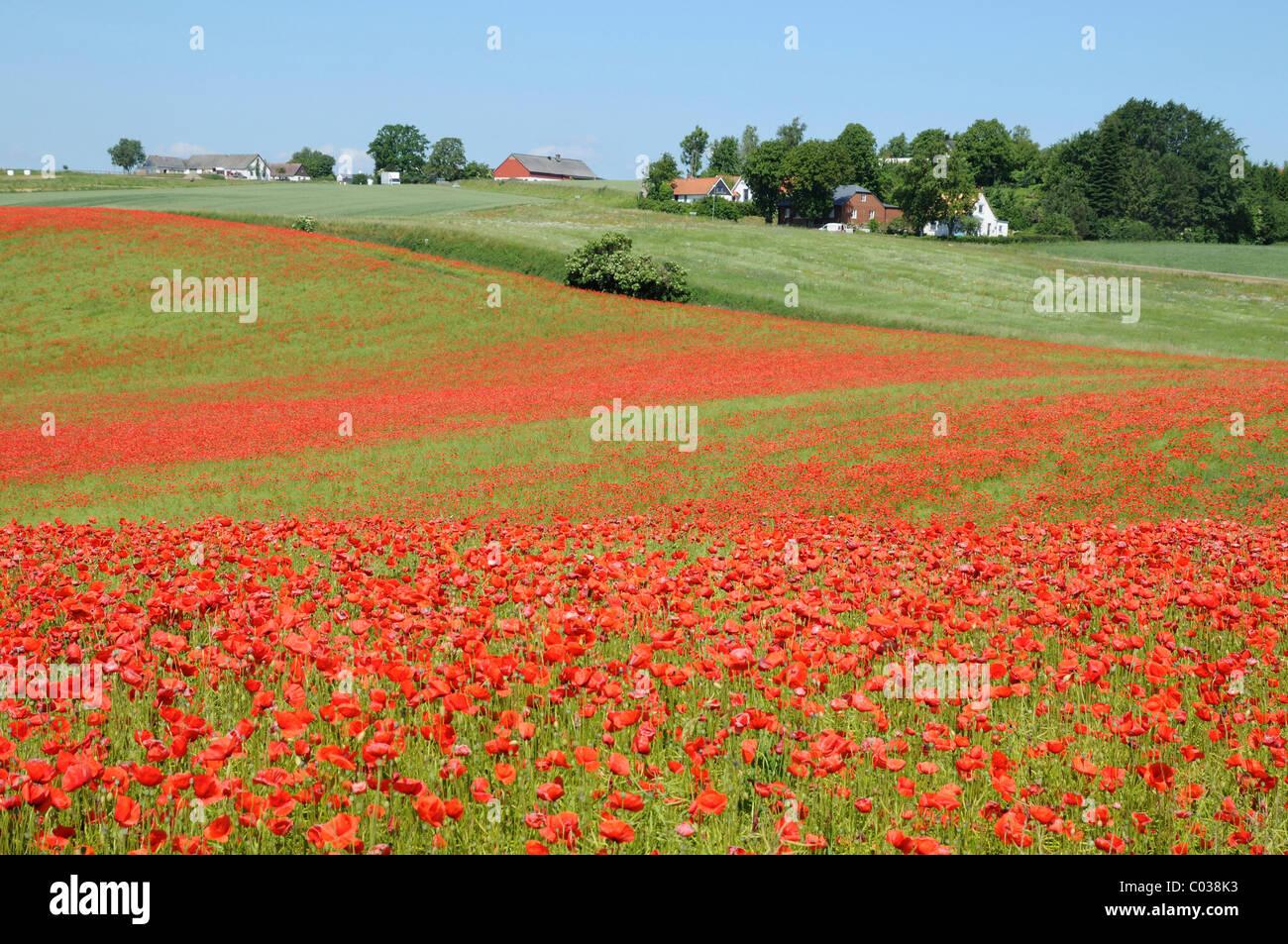 Paesaggio con poppyfield, Bjaeresjoe, Skåne, Svezia, Europa Immagini Stock