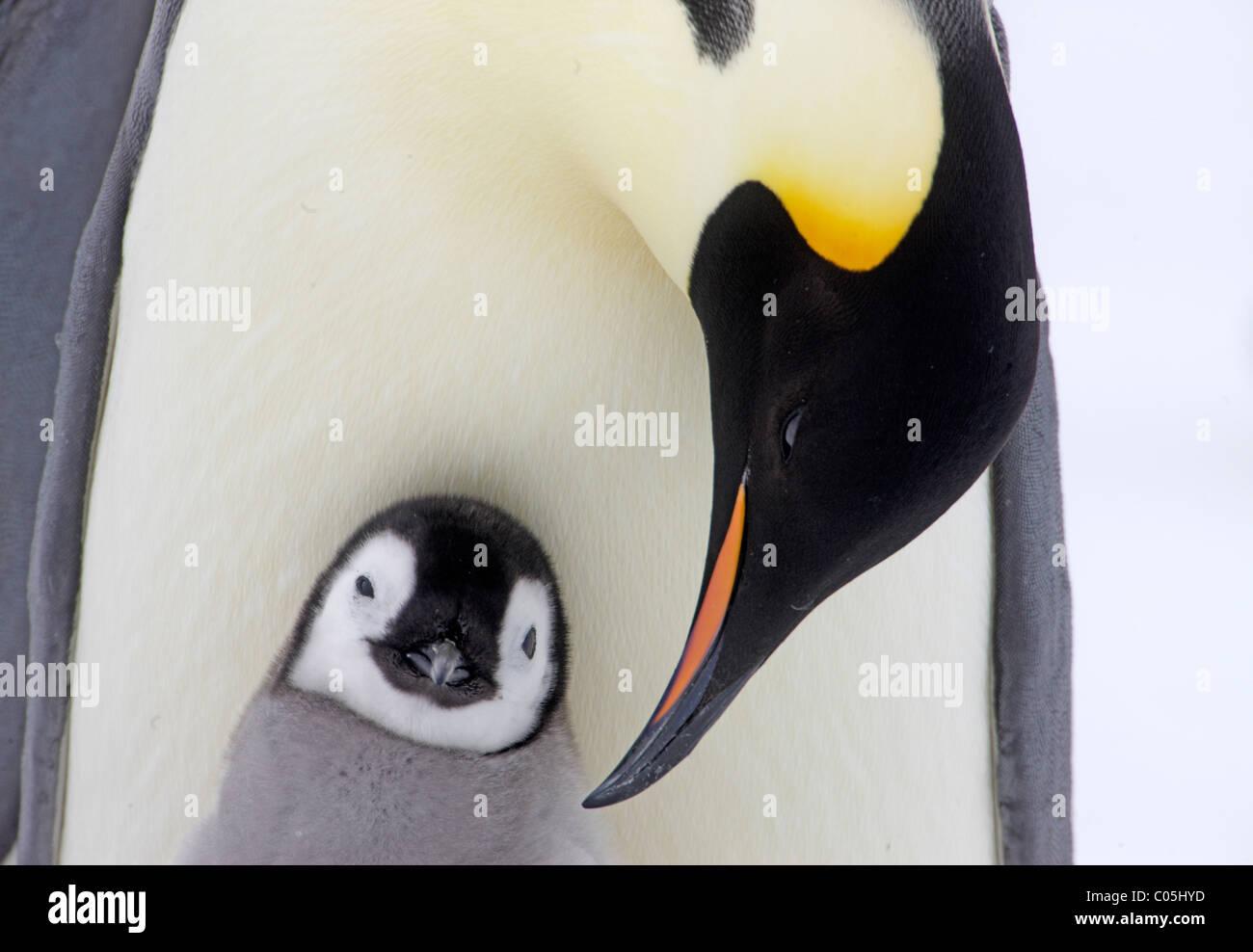 Pinguino imperatore e pulcino, Ottobre, Snow Hill Island, mare di Weddell, Antartide Immagini Stock