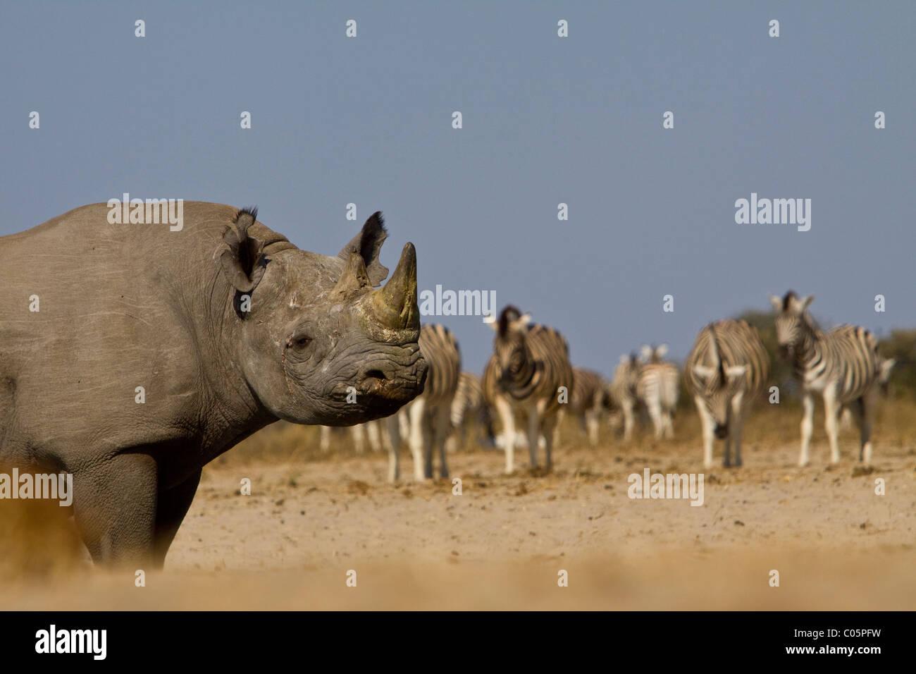 Il rinoceronte nero e zebra, il Parco Nazionale di Etosha, Namibia. Immagini Stock