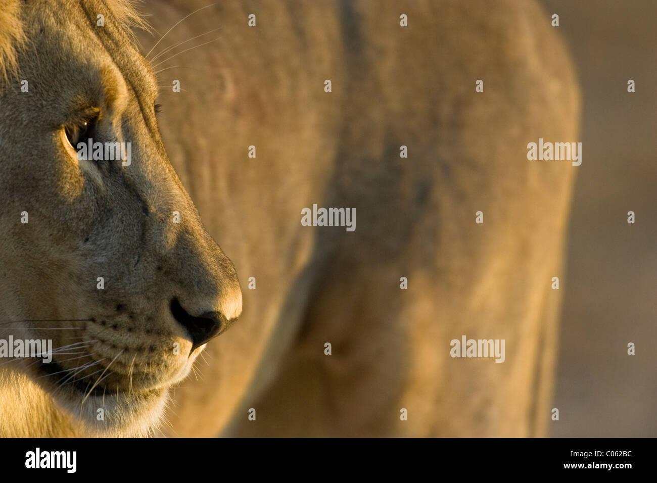 Lion ritratto, il Parco Nazionale di Etosha, Namibia Immagini Stock