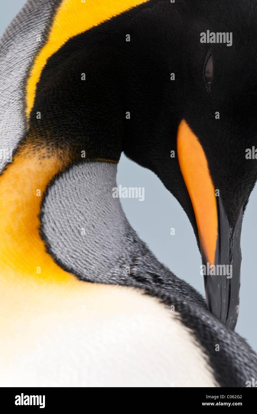 Pinguino reale preening, Salisbury Plain, Georgia del Sud Atlantico. Foto Stock
